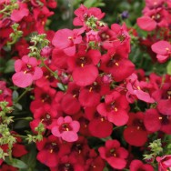Diascia Divara® Deep Red Plug Plant