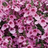 Diascia Divara® Pink Plug Plant