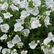 Diascia Divara® White Plug Plant