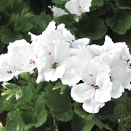 Geranium Upright Aristo® Snow Plug Plant