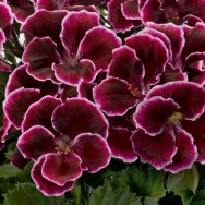 Geranium Upright Aristo® Black Beauty Plug Plant