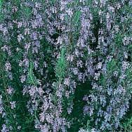 Rosemary Plug Plant
