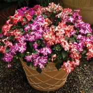 Impatiens Accent™ F1 Star Mix mini-plug bedding plants