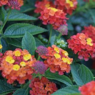 Lantana Esperanta® Red Plug Plant