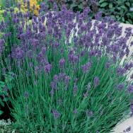 Lavender Munstead Plug Plant