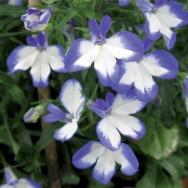 Lobelia Laura Blue Eye Plug Plant