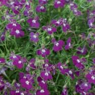 Lobelia Laura Purple Plug Plant