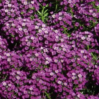 Lobularia Lucia Purple Plug Plant