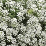 Lobularia Lucia White Plug Plant