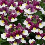 Nemesia Sunpeddle® Painted Rose Plug Plant