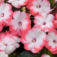 New Guniea Harmony® Radiance Coral Plug Plant