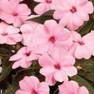 New Guniea Impatien Harmony® Pink Smile Plug Plant