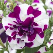 Petunia Tumbelina® Damson Ripple Plug Plant