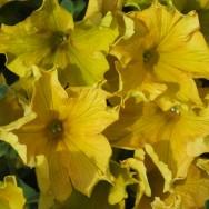 Petunia trailing Giant Dijon Plug Plant