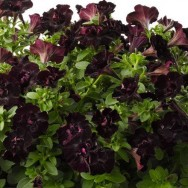 Petunia Happy Magic® Mini Double Black Plug Plant