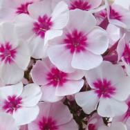 Phlox Adessa® Pink Star Plug Plant