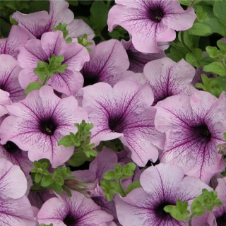 Surfinia® Compact Purple Vein Plug Plant