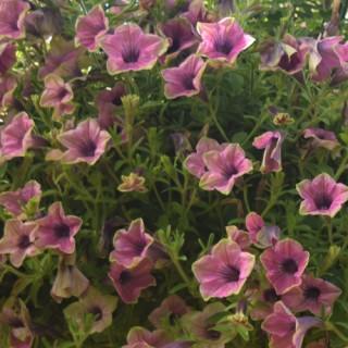 Surfinia® Green Edge Purple Plug Plant