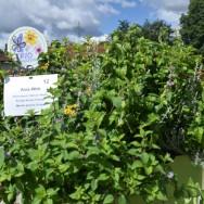 Asia Wok Herb Trio Plug Plants