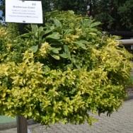 BBQ Gold Herb Trio Plug Plants