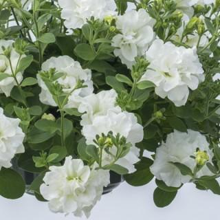 Petunia Tumbelina® Diana Plug Plant