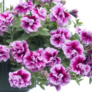 Petunia Tumbelina® Francesca Plug Plant
