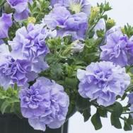 Petunia Tumbelina® Maria Plug Plant