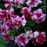Petunia Tumbelina® Rosy Ripple Plug Plant