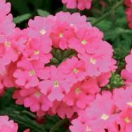 Verbena Trailing Samira® Bright Pink Plug Plant