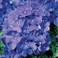 Verbena Trailing Samira® Deep Blue Plug Plant
