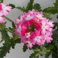 Verbena Trailing Samira® Pink Wing Plug Plant
