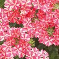 Verbena Trailing Samira® Rose Star Plug Plant