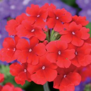 Verbena Trailing Samira® Scarlet Plug Plant