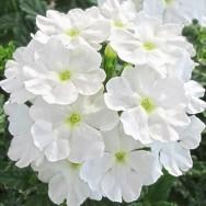 Verbena Trailing Samira® White Plug Plant