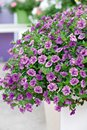 Mini Famous Calibrachoa Double Amethyst