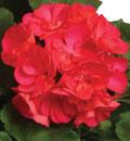 new-geranium-thumbnail