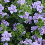 bacopa-double-lavender