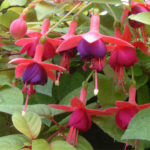 fuchsia-red-sunrise