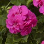 geranium-amy