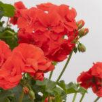 geranium-polly