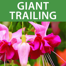 Buy Giant Trailing Fuchsias