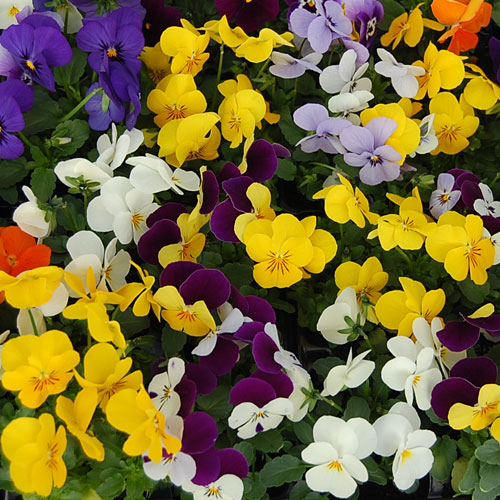 Viola F1 Mix Mini-plug Bedding Plants
