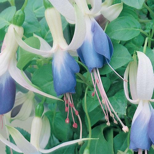 Fuchsia Upright Carmel Blue Plug Plant