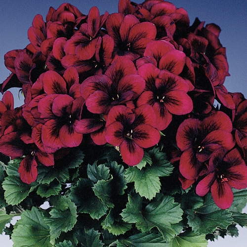 Geranium Upright Regalia? Chocolate Plug Plant