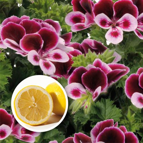 Geranium Grandeur? Odorata Perfume Plug Plant