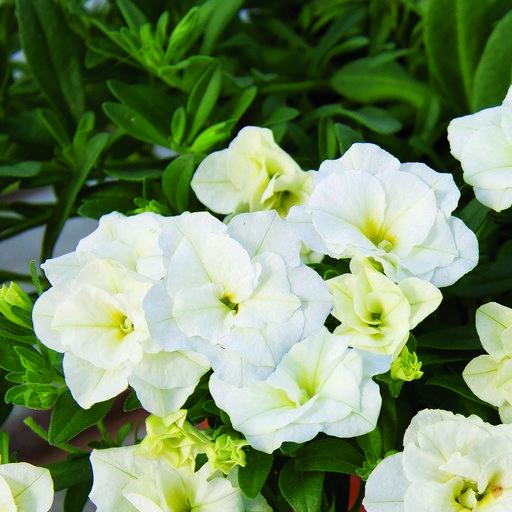 Calibrachoa Calita? Double White Plug Plant