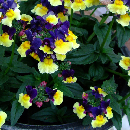 Nemesia Aroma? Plums And Custard Plug Plant (Scented)