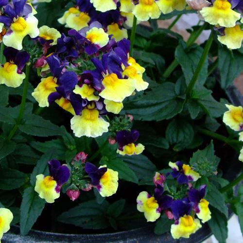 Nemesia Aroma? Plums And Custard Plug Plant (Scented)