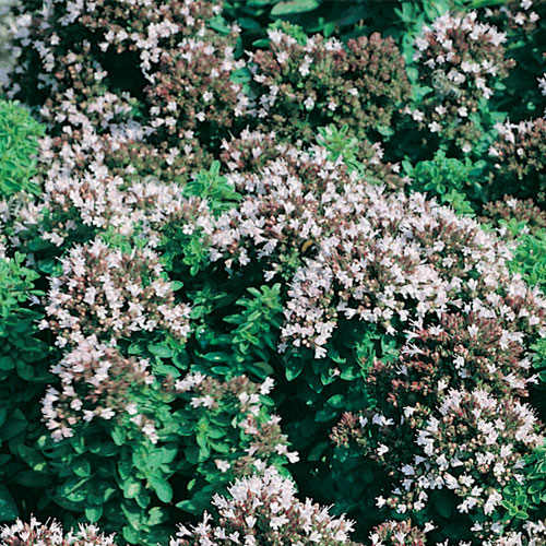 Oregano Plug Plant