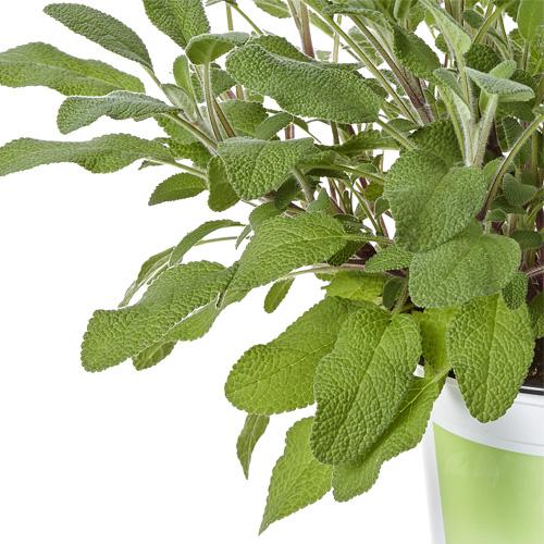 Sage Plug Plant